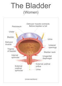 The bladder